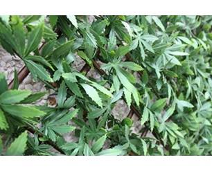 GSD Wonderwal Trellis - Green Acer