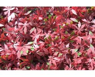 Wonderwal Trellis - Red Acer